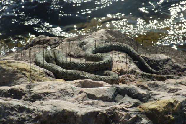Schlangen In Italien