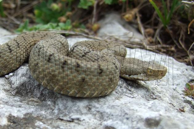 Italien Schlangen