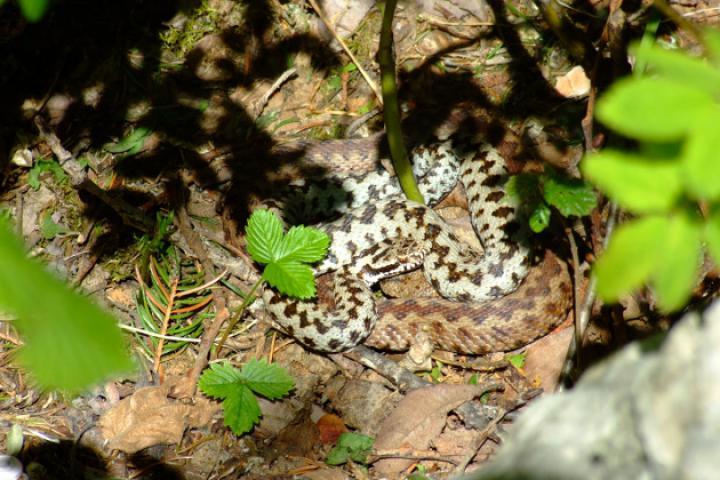 Heimische Schlangen am Gardasee