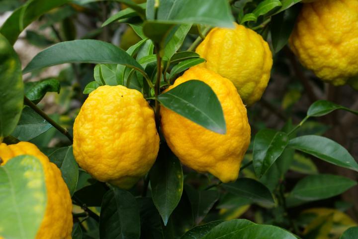 "Der Zitronengarten ""Limonaia Fondo Crocefisso"" in Gargnano"